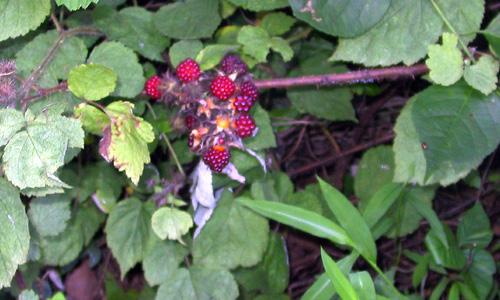 Raspberries072006_1